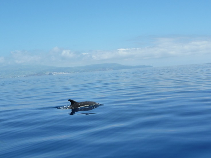 blue dolphin in azores wildlife