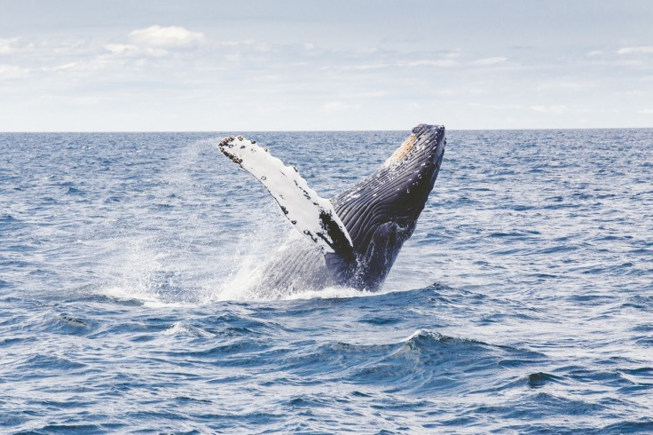 humpback whale watching in the Azores